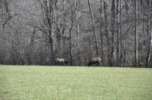 Great Smoky Mountains Elk
